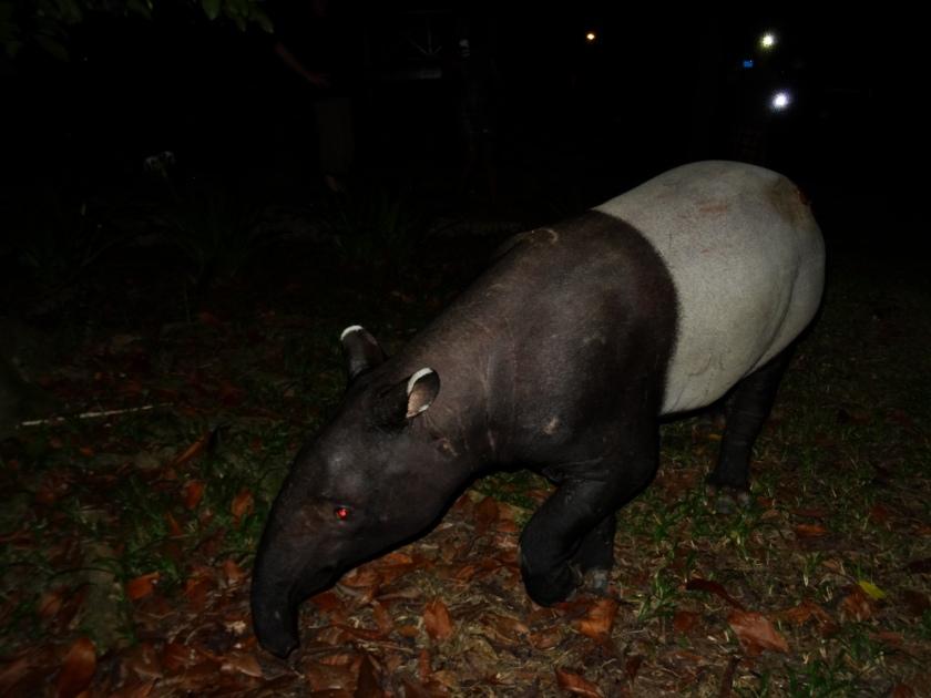 14.3-Tapir2