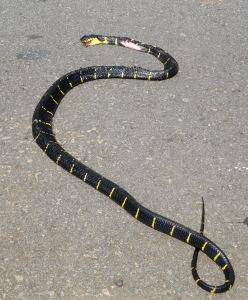 5.5-Tote-Schlange