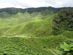 3.6-CameronValley-Teeplantage