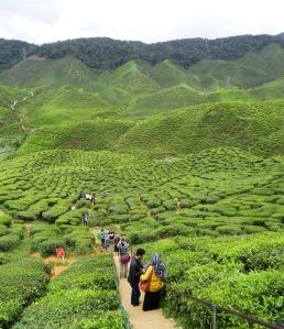 3.8-CameronValley-Teeplantage